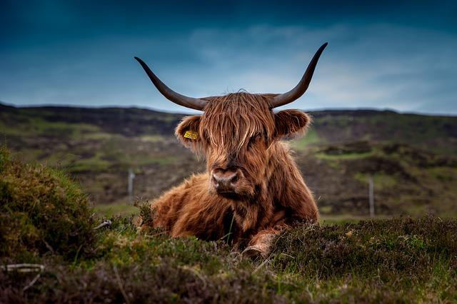 Taureau Highland - Écosse