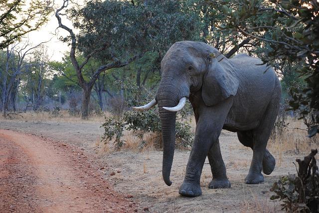 elephant-zambie-luangwa-sud